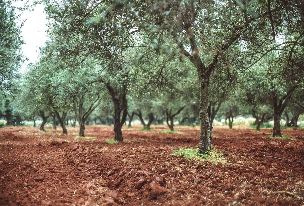 Olivenhain in Kreta, Foto: Nikos Zachariadis
