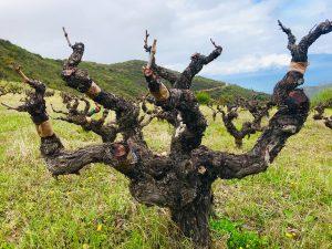 Tetramythos Winery - Peloponisos - Roditis 65 Jahre alt